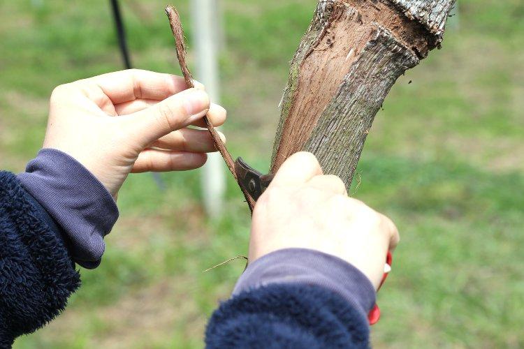 ぶどうの木 粗皮剥ぎ
