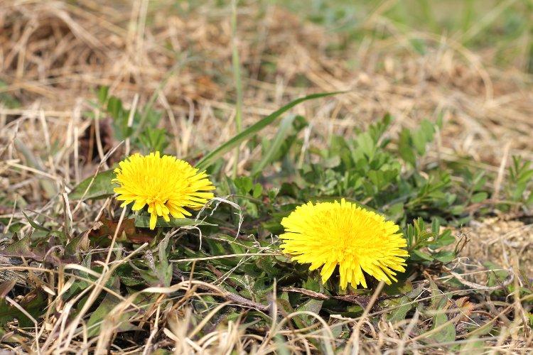 冬のぶどう畑 花