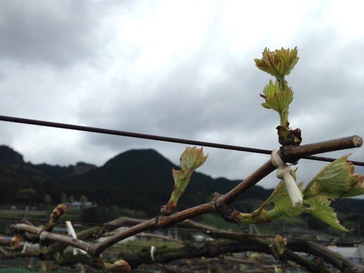 葡萄の芽かぎ