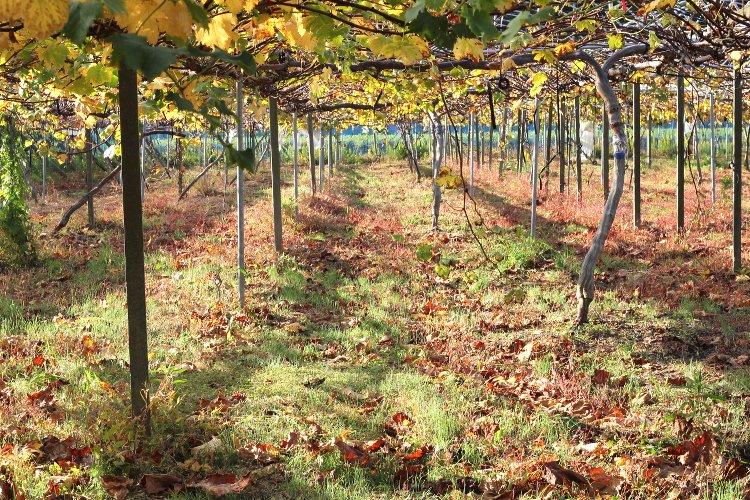 葡萄収穫終了 紅葉