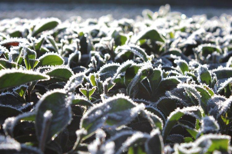 初霜 お茶の葉