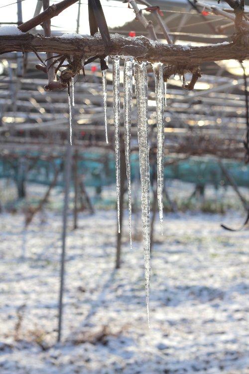 氷柱 葡萄畑