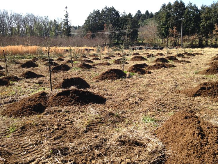 オリーブの肥料散布