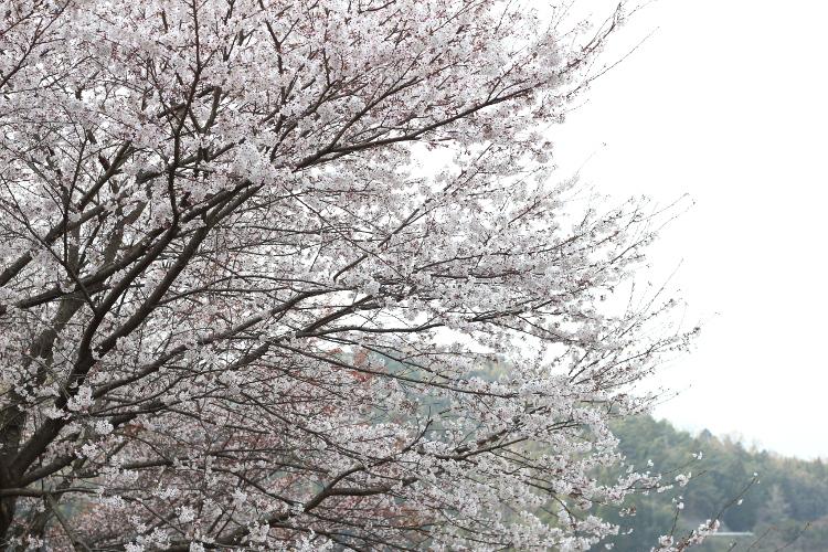 うきはの桜 花見日和