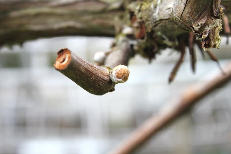 ぶどうの芽 水揚げ期