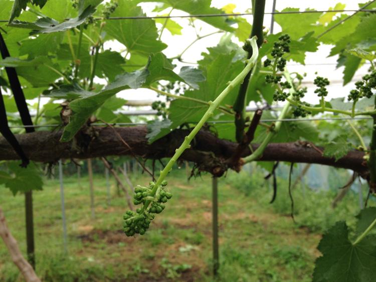 葡萄の花穂整形