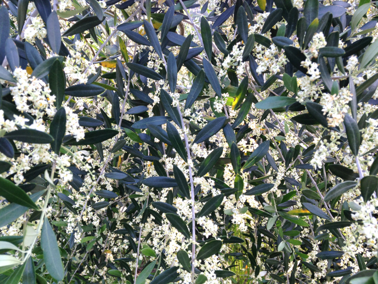 うきはオリーブ満開 オリーブの花